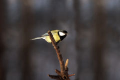 Small tit bird on tree branch ready to fly Stock Photos