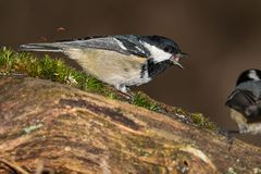 Small tit is sitting on the branch. And feeding seeds in the winter Royalty Free Stock Photo