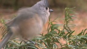 small titmouse bird lands pine