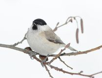 Small titmouse on a branch Royalty Free Stock Photos