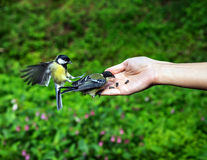 Small titmouse on women's hand Stock Photography