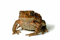 Small Toad Stock Photos