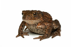 Small Toad Royalty Free Stock Photography