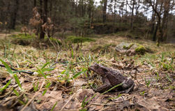 Small toad in big forest. Common toad, Bufo bufo, on its way to the breeding pond in april. Norway. Stock Image