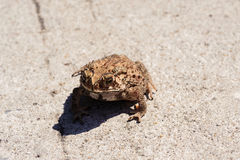 Small toad on the concrete road Stock Photography