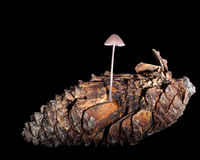 Small toadstool fungus on rotting pine cone. Nature detail, but studio shot Stock Images