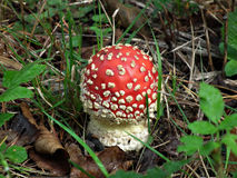 Small toadstool. Small red toadstool in the grass Royalty Free Stock Photography