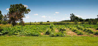 Small Tobacco Field. Under a blue sky with white clouds and a tree in the distance Royalty Free Stock Images