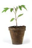 Small tomato plant Royalty Free Stock Photos