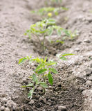 Small tomato plant Stock Images