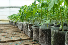 Small tomato  plants in a greenhouse for transplanting Stock Photo
