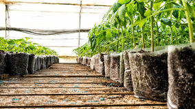 Small tomato  plants in a greenhouse for transplanting Royalty Free Stock Images
