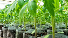 Small tomato  plants in a greenhouse for transplanting Royalty Free Stock Photography
