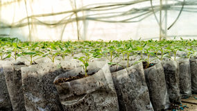 Small tomato  plants in a greenhouse for transplanting Stock Images