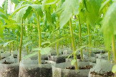 Small tomato  plants in a greenhouse for transplanting Royalty Free Stock Photo