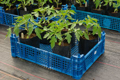 Small tomato plants ready for potting on Stock Photo