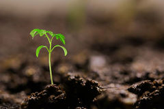 Small tomato seedling in the ground Royalty Free Stock Photo