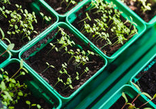 Small tomato seedling. new green seedlings in box Royalty Free Stock Images
