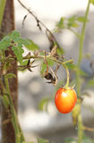 Small tomato. Single tomato on a dry branch Stock Photography