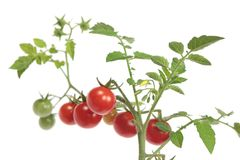 Small tomatoes stock image