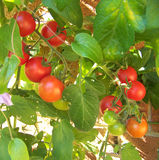 small tomatoes Στοκ εικόνες με δικαίωμα ελεύθερης χρήσης