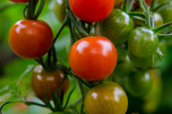 Small Tomatoes on the Vine Stock Photo