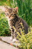 Small tomcat with tabby fur sits in herbs garden Royalty Free Stock Images