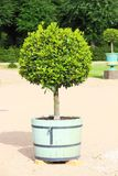 Small topiary tree in the pot Stock Image