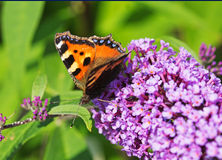 A Small Tortioseshell butterfly on a buddlia Royalty Free Stock Photo