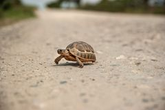 Small tortoise crossing a gravel road. Small tortoise crossing a dry gravel road alone Stock Image