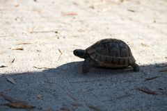 Small tortoise crossing the shadow line royalty free stock photography
