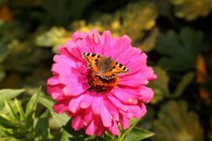 Small tortoise shell butterfly Stock Photos