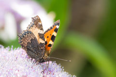 Small tortoise shell butterfly Stock Photography