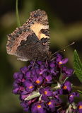 Small tortoise shell butterfly. Royalty Free Stock Image