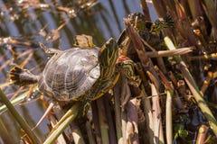 Tortoise sitting on a lake side. Small tortoise sitting on a stick lake side sunny two Royalty Free Stock Image