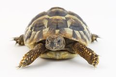 Small tortoise (turtle). Close up of small tortoise (turtle royalty free stock photo