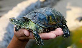 Small tortoise (turtle) in hand Stock Photo