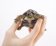 Small tortoise  (turtle) in hand Stock Image