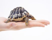 Small tortoise  (turtle) in hand Royalty Free Stock Images