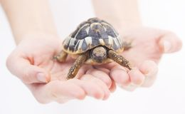 Small tortoise  (turtle) in hands Royalty Free Stock Image