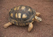 Small Tortoise Walks and Looks stock photos