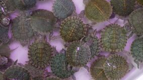 Small tortoises on pet market. From above little tortoises being kept in captivity on Chatuchak pets Market in Bangkok