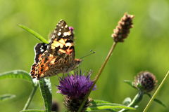Small tortoiseshell. Stock Photo