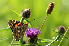 Small tortoiseshell. Royalty Free Stock Images