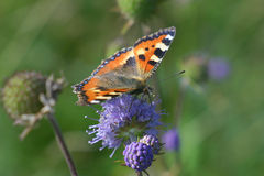 Small tortoiseshell Royalty Free Stock Photos