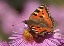 Small Tortoiseshell Stock Photos