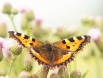 Small Tortoiseshell (Aglais urticae) (1), close-up Stock Photography