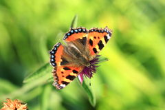 Small tortoiseshell.Aglais urticae. A view of a small tortoiseshell butterfly from above against a green background stock photos