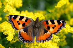 Small tortoiseshell, Aglais urticae Royalty Free Stock Photography