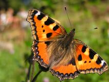 Small tortoiseshell - Aglais urticae Royalty Free Stock Images